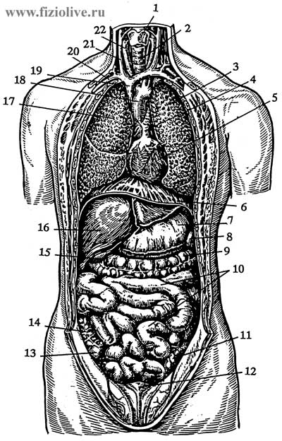 The bodies of the thoracic and abdominal cavities