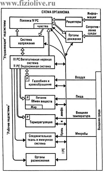 Diagram of the organism (N. M. Amoz)